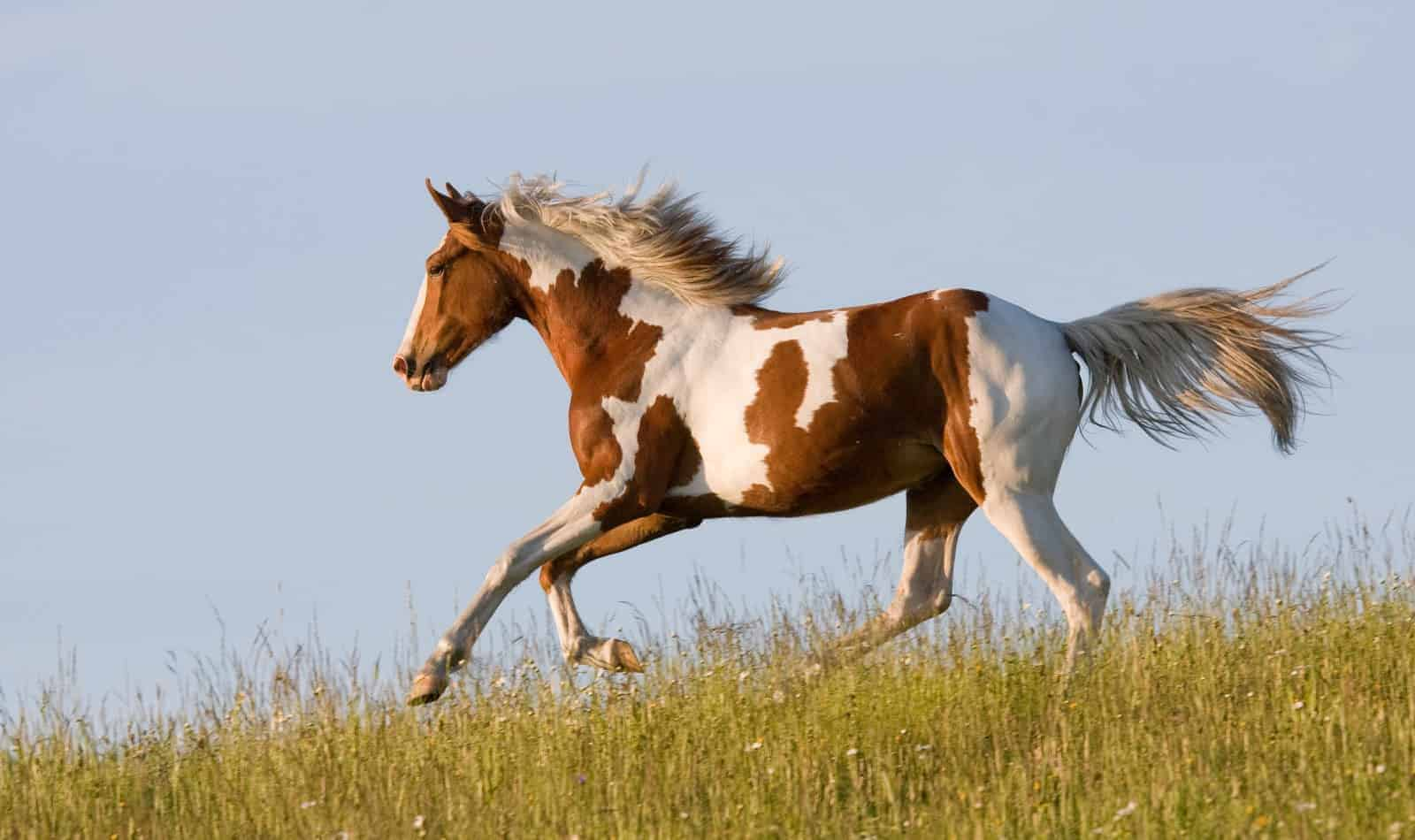 Looking for the best horse breeds for first-time owners? We narrowed the list of 300+ breeds to just the top 10! Check it out!