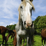 white horse eating grass with brown horses