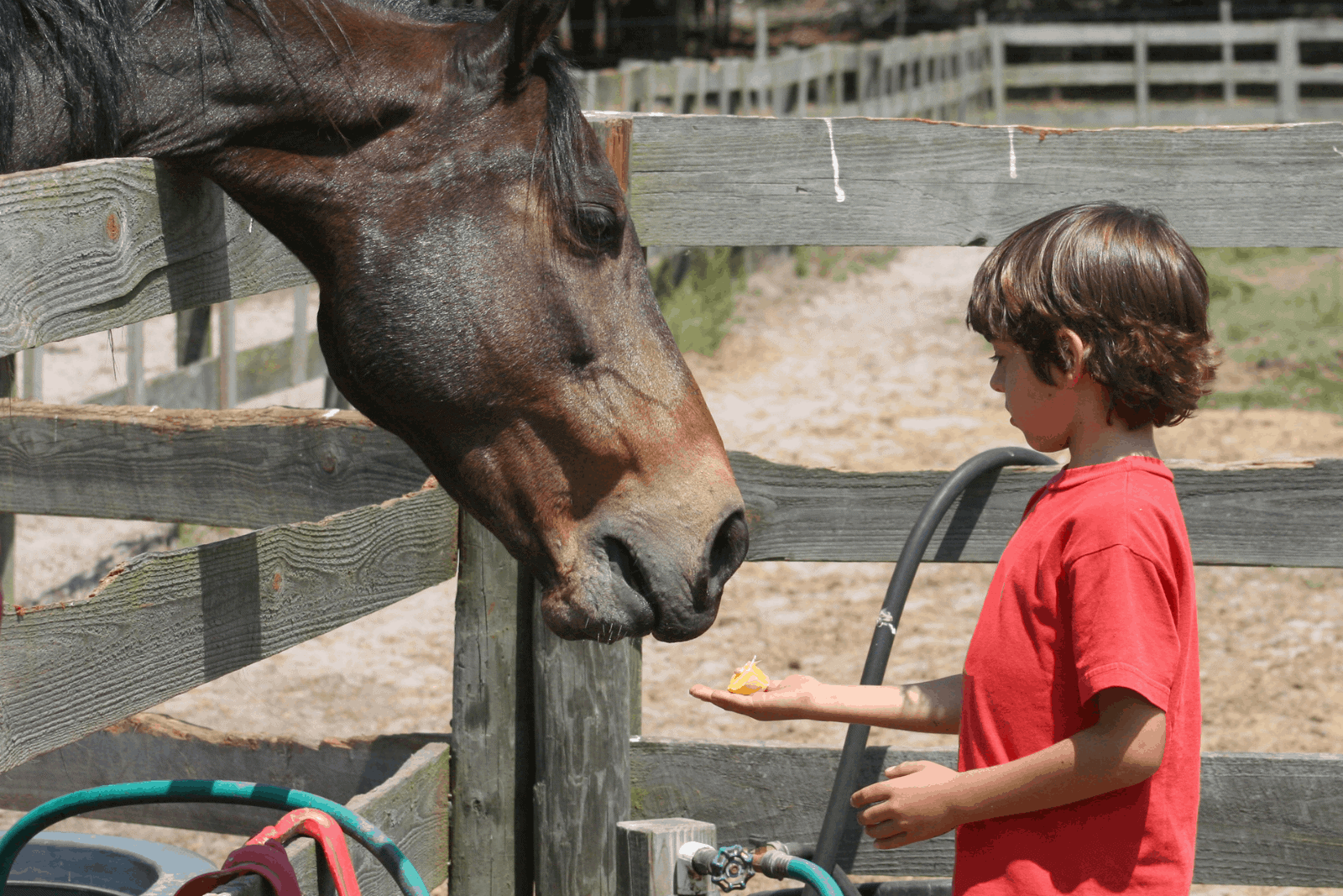 a little boy feeding a brown horse