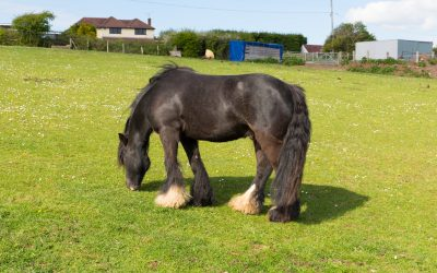 6 Fabulous Horses With Hair on Their Feet (& Why It's There)