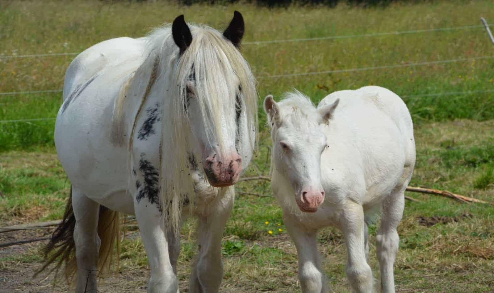 mare and cob Irish horses on the grassfield: can they eat parsley?