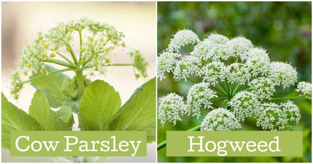 Comparison of cow parsley and giant hogweed side by side. Cow parsley is safe for horses. Giant hogweed (right) is NOT.