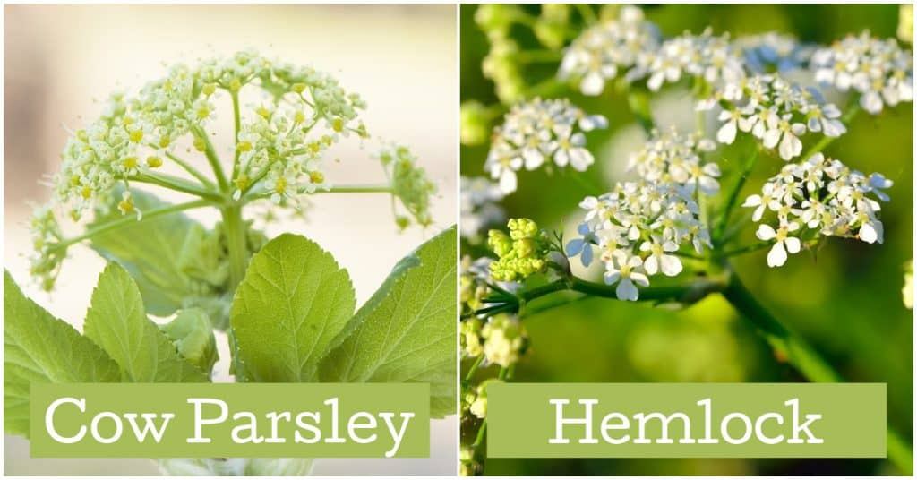 Comparison of cow parsley and hemlock side by side. Horses can eat cow parsley but hemlock is fatal.
