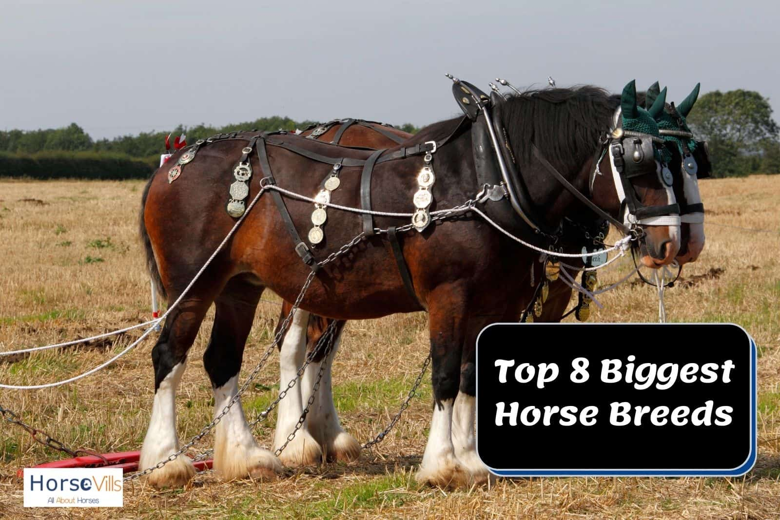 two brown biggest horse breeds with white hairy feet