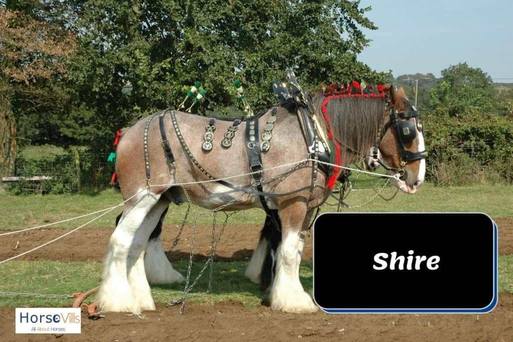 big shire horse with white feet