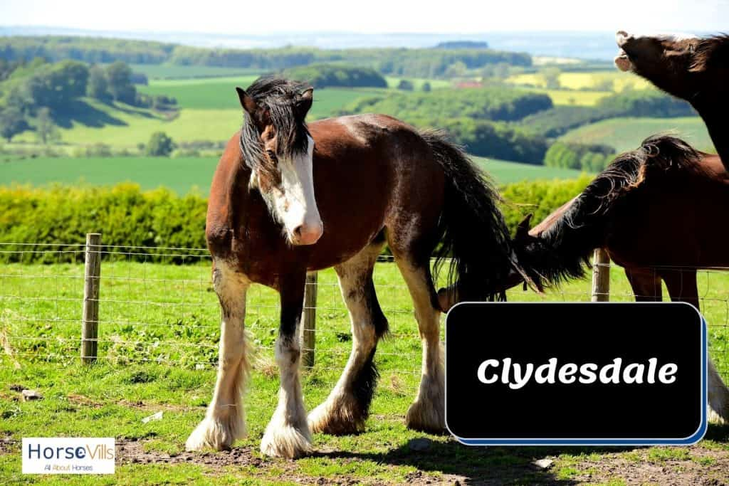 clydesdale with white spots