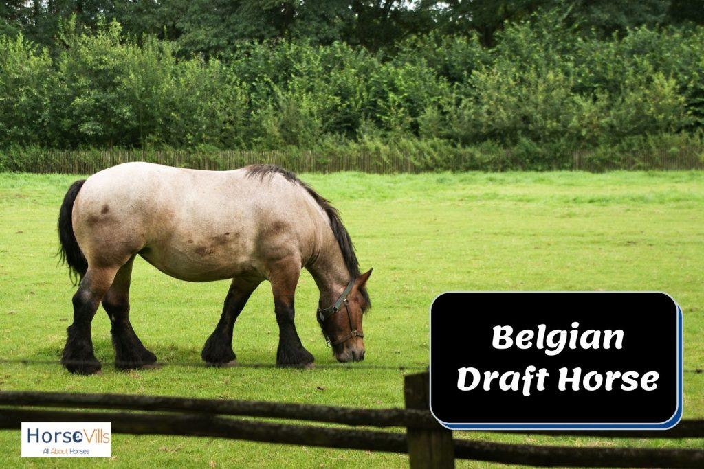 Belgian draft horse eating grasses on the field