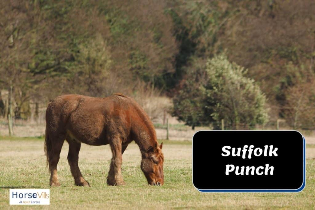 suffolk punch brown horse eating grasses