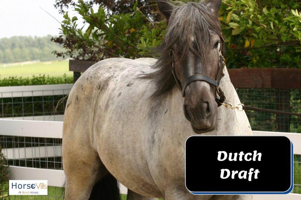 white Dutch draft horse