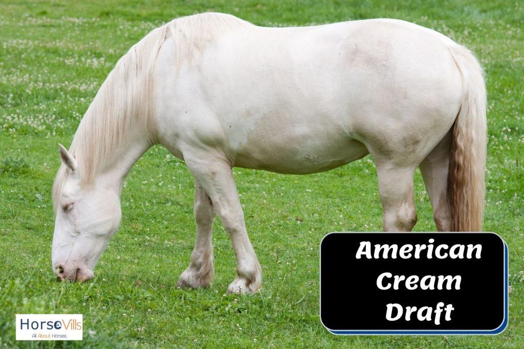 white American cream draft horse