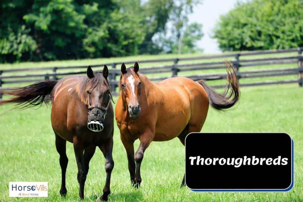 two brown Thoroughbreds walking on the grassfield