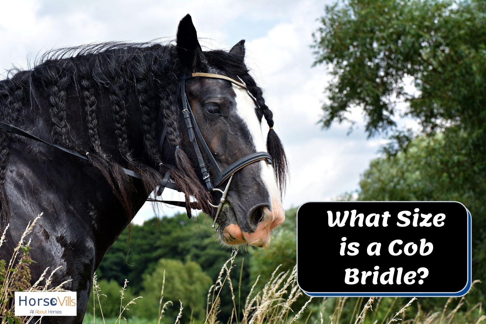 a gorgeous black horse with cob bridle
