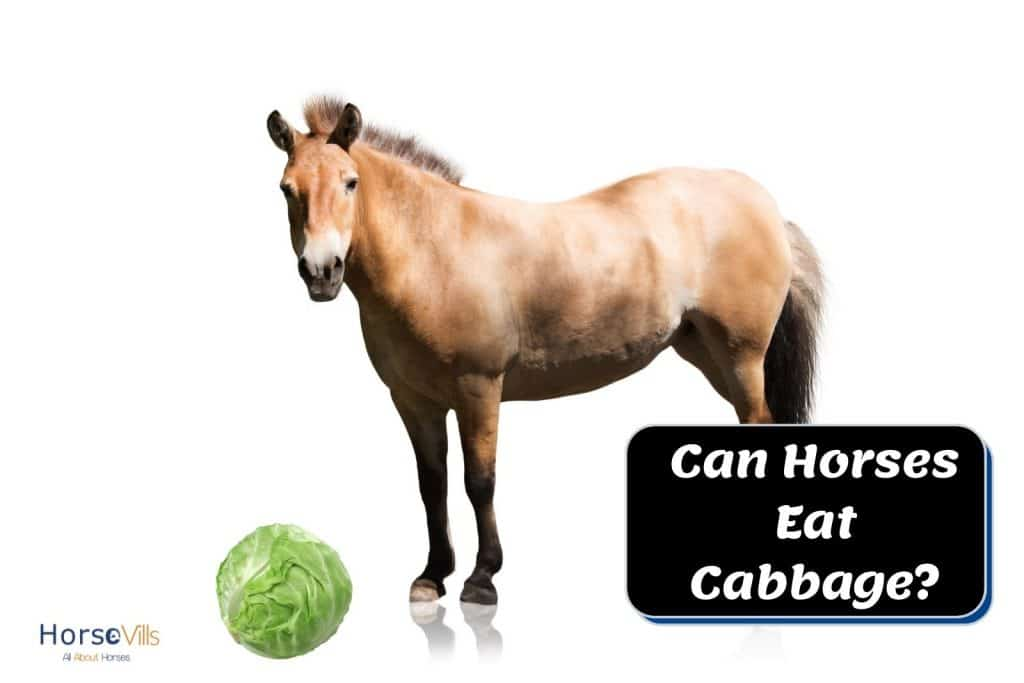 brown horse with a cabbage: can horses eat cabbage?