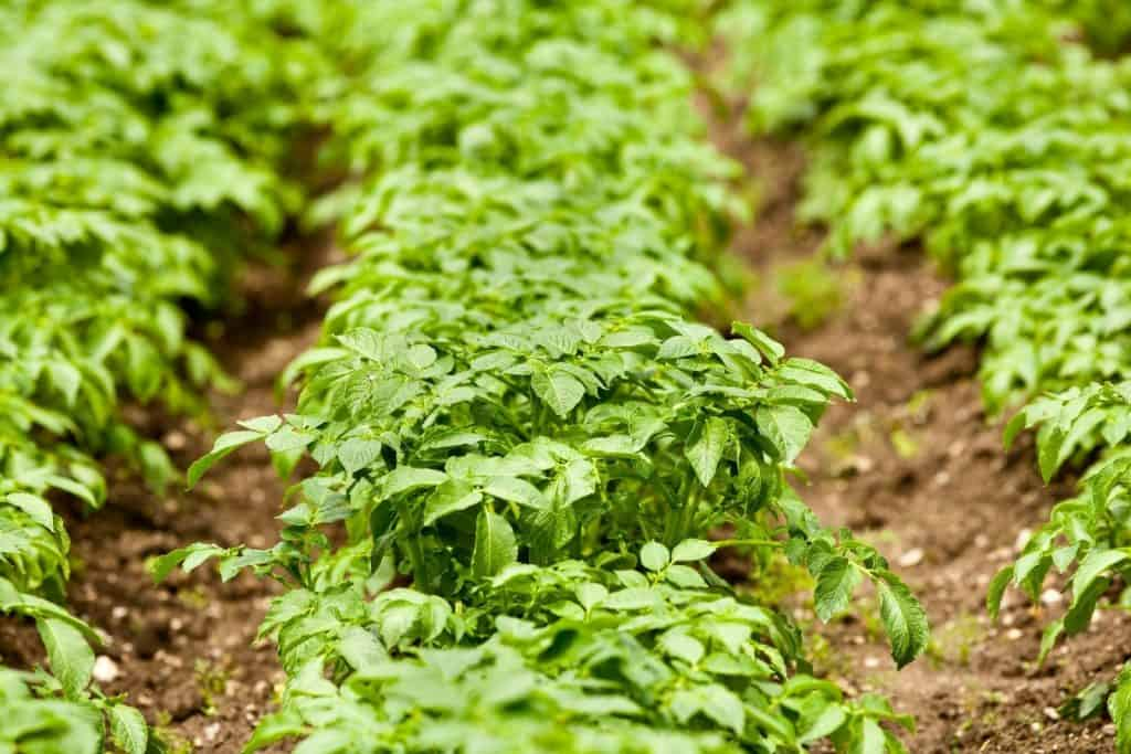 Close-up shot of potato leaves. can horses eat potato leaves?