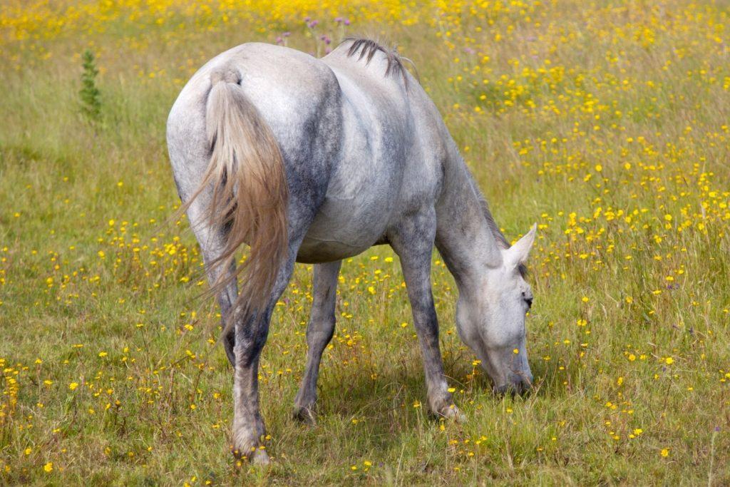 horse eating grass beside yellow wild flowers