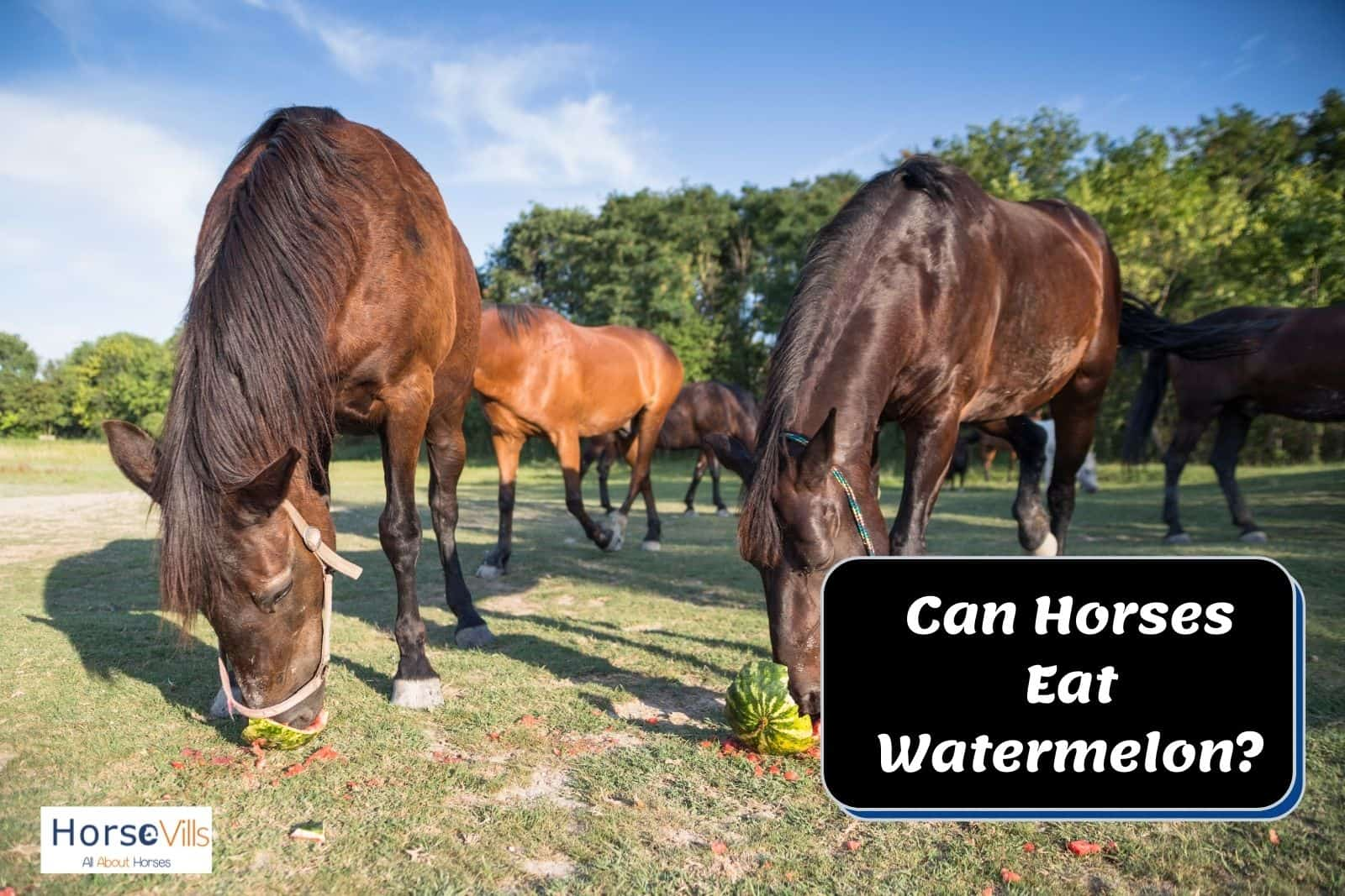 Friesian eating fresh watermelons but can horses eat watermelons? Are they safe?