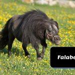 black falabella pony