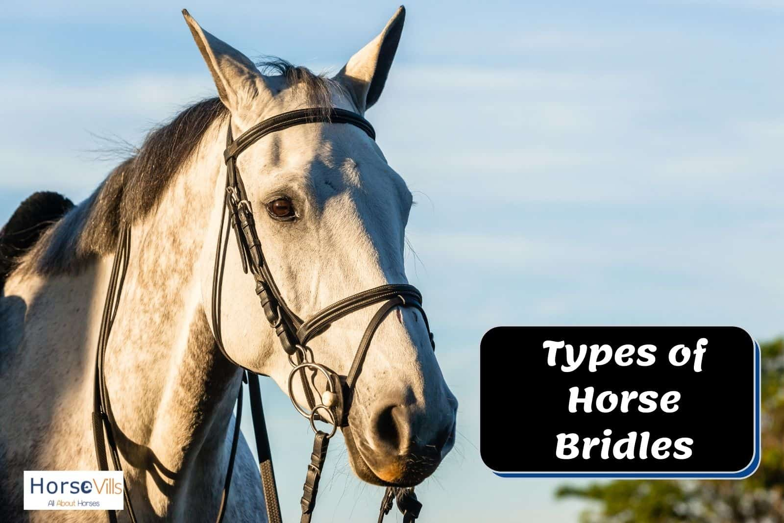 white mare wearing a black horse bridle