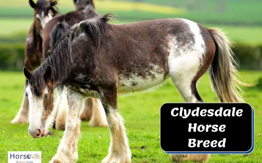Everything You Need to Know About Clydesdale Horses