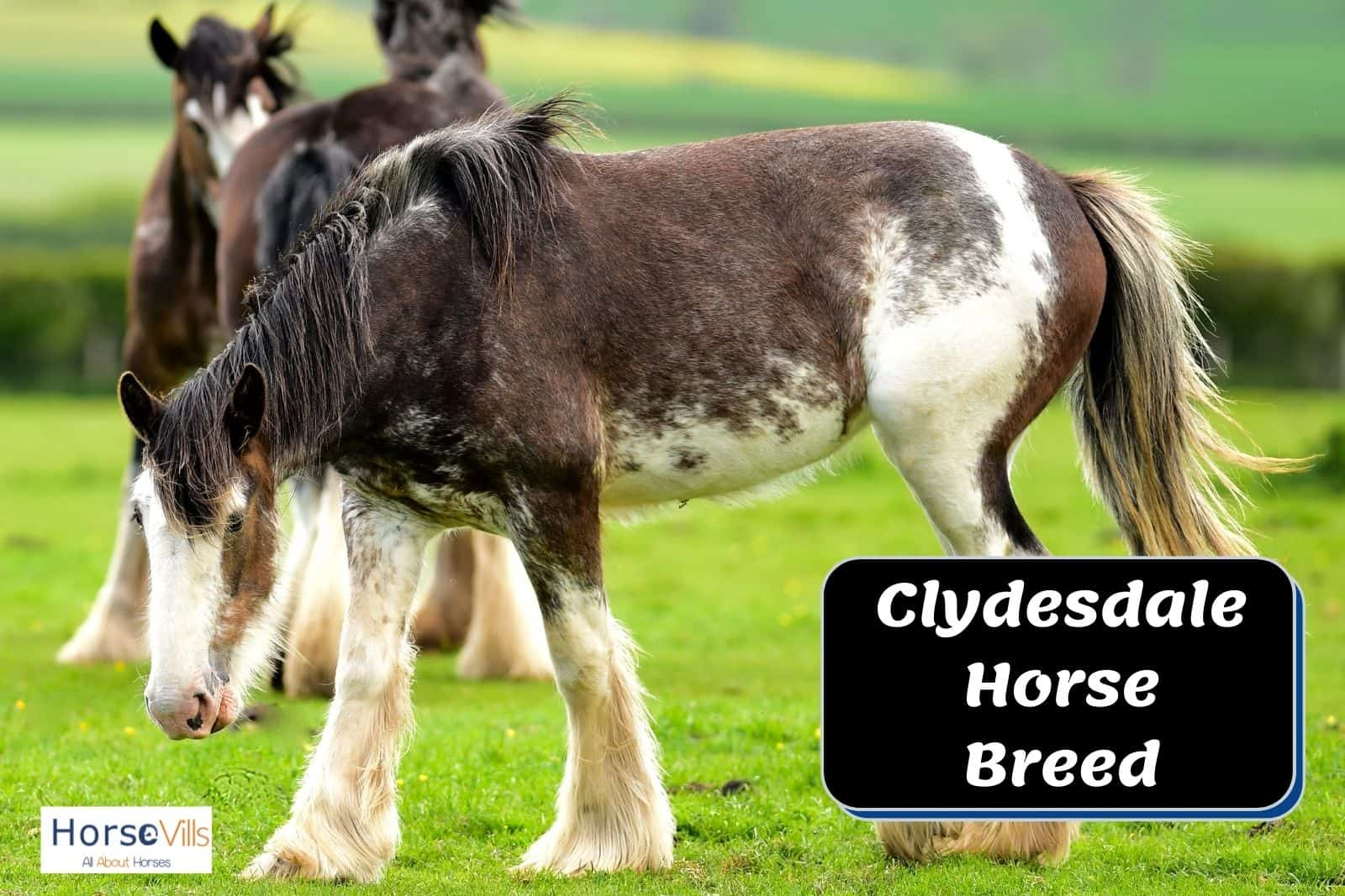 a beautiful Clydesdale horse
