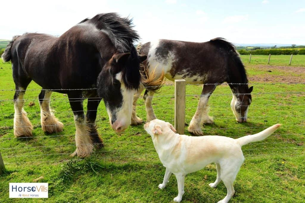 a dog smelling a big Clydesdale horse