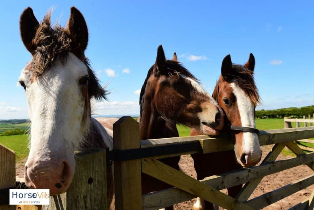 three cute Clydesdale horses