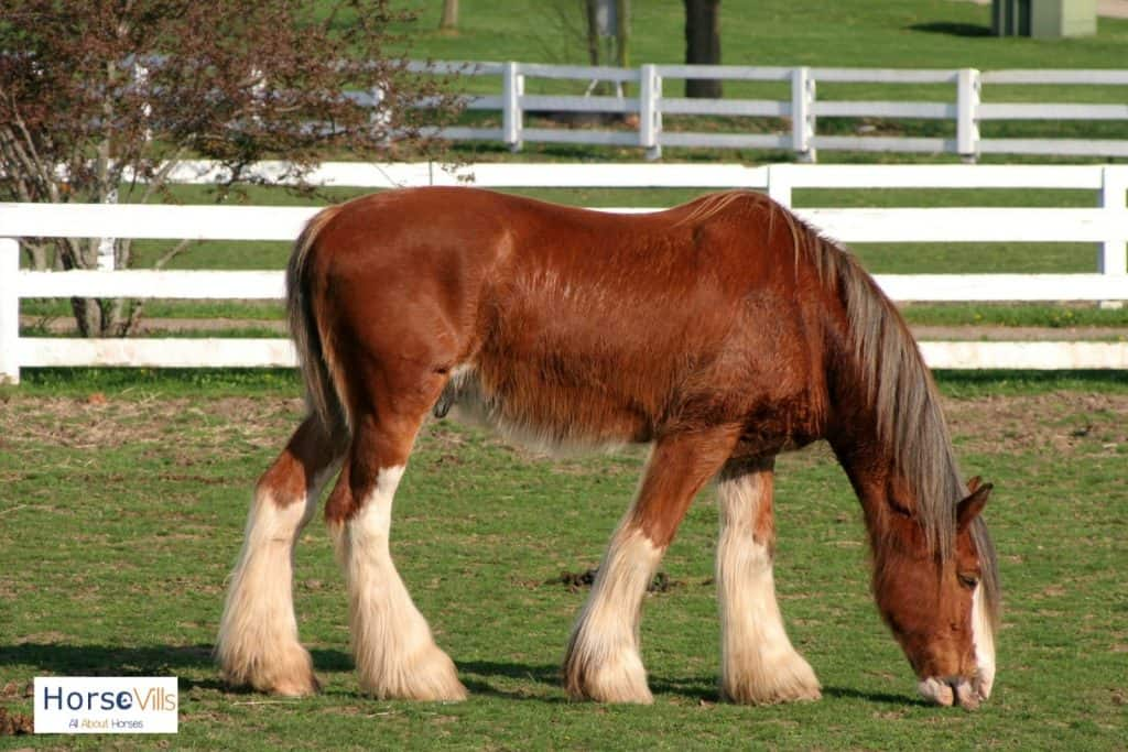 brown Clydesdale horse with white hairy feet prefect for Clydesdale riding