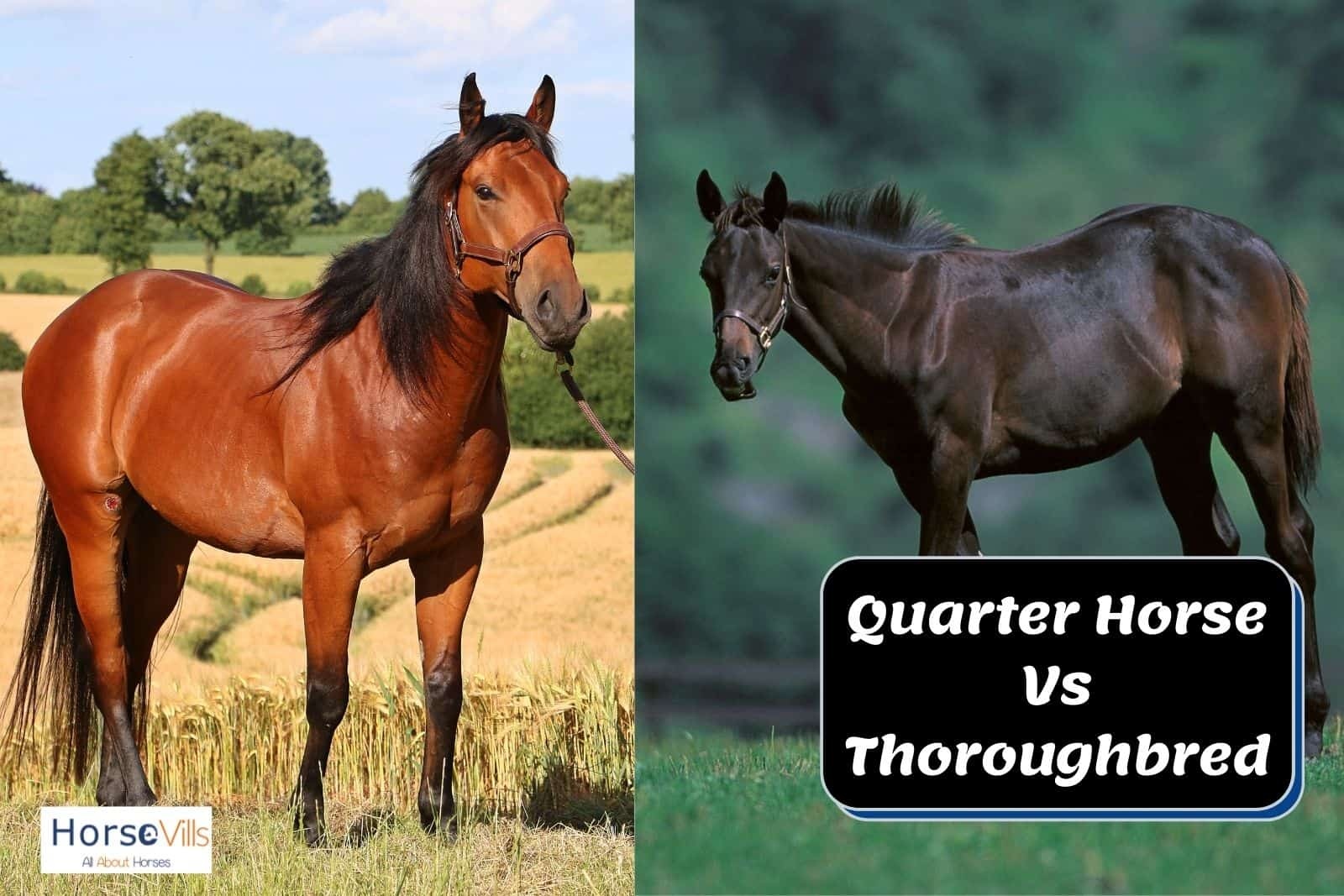 a Quarter Horse Vs Thoroughbred in one picture