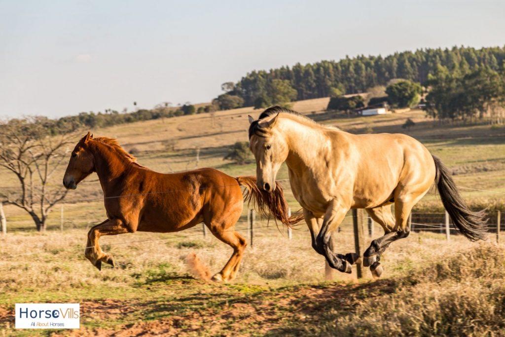 American quarter horses galloping