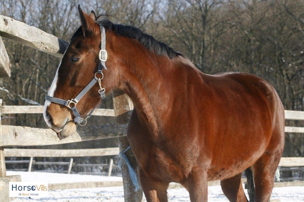blood bay horse
