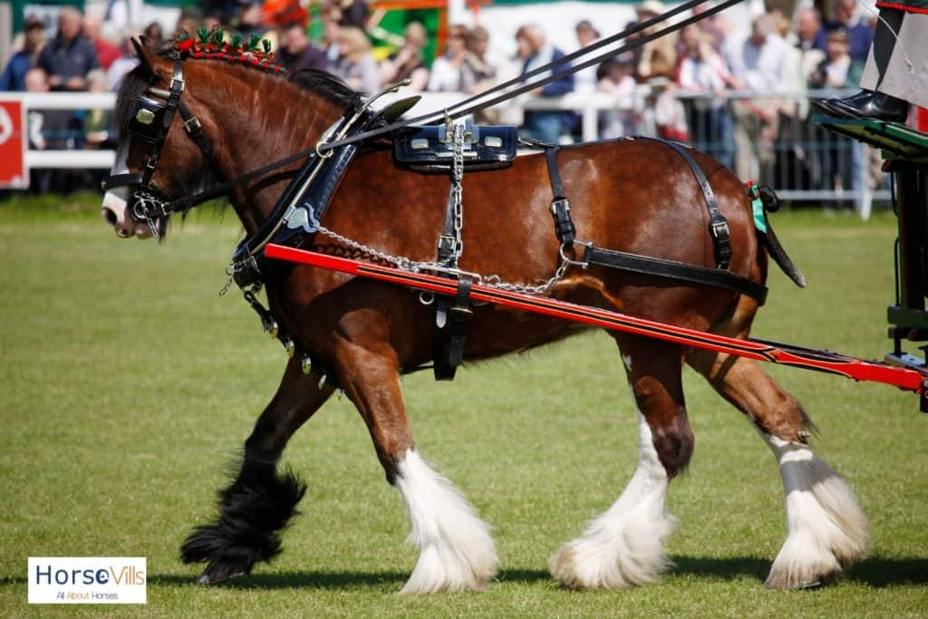 brown Shire horse