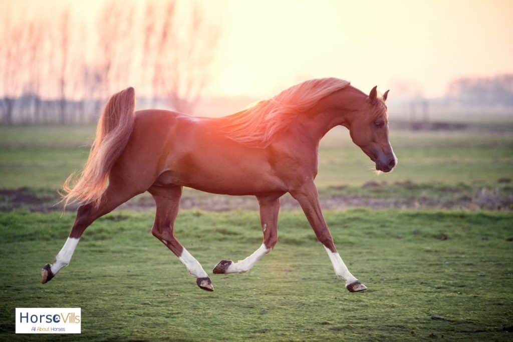 Arabian horse with white sockings