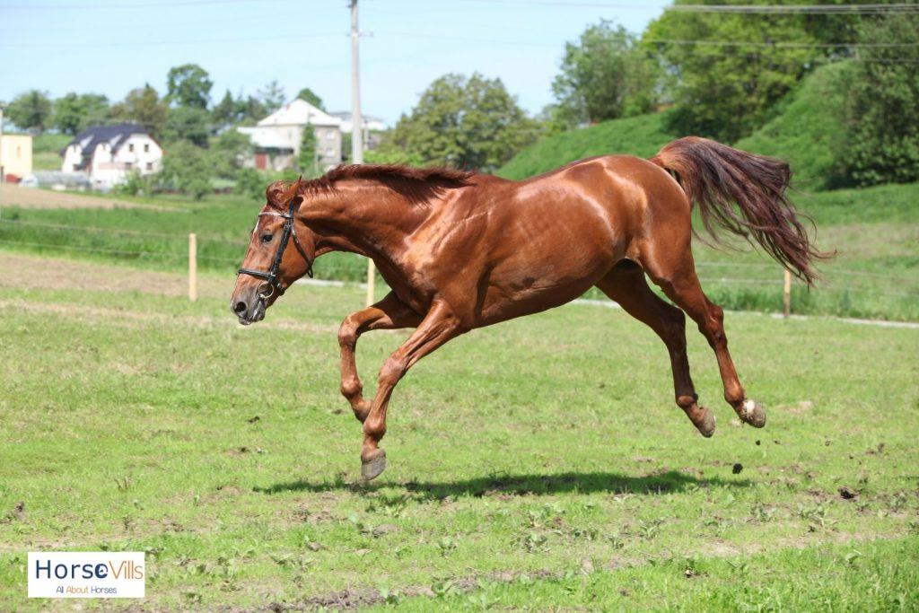 Belgian warmblood horse
