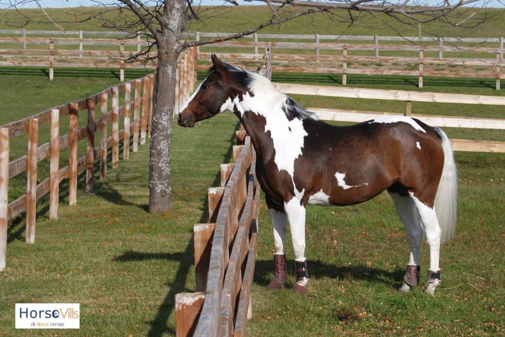 A beautiful Oldenburg standing beside a fence. He is one of the be.st jumping horses