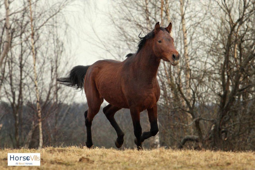 Trakehner horse running fast