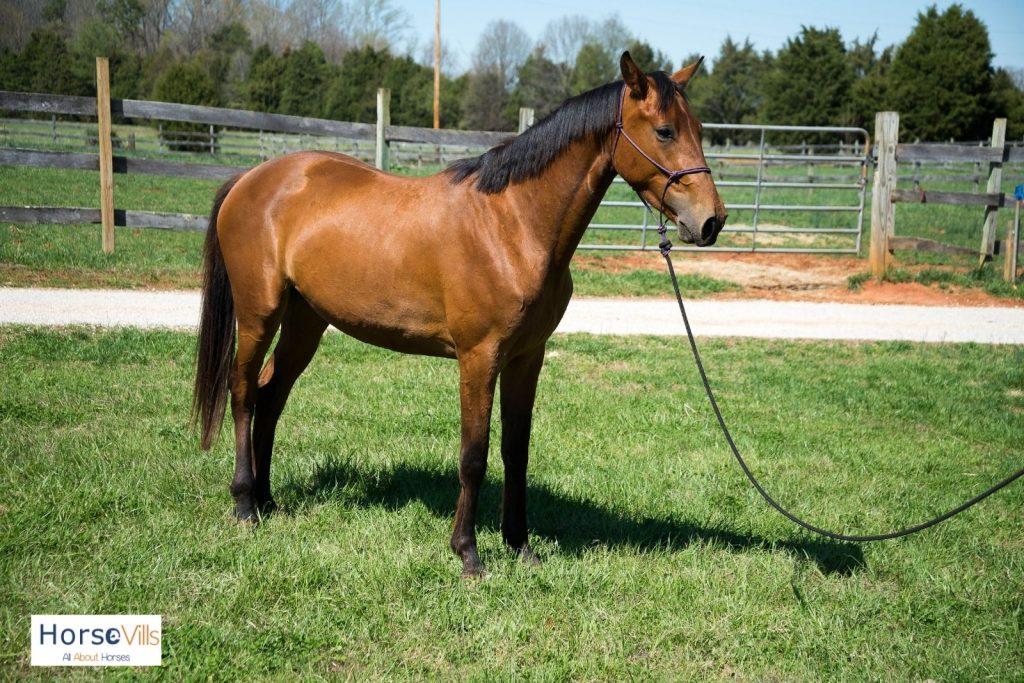 Hanoverian horse in a field