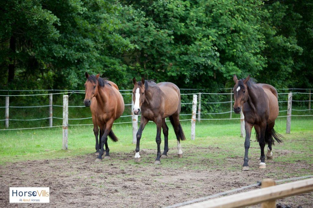 three Holsteiner best jumping horses