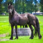 Friesian horse gracefully standing while looking at the camera