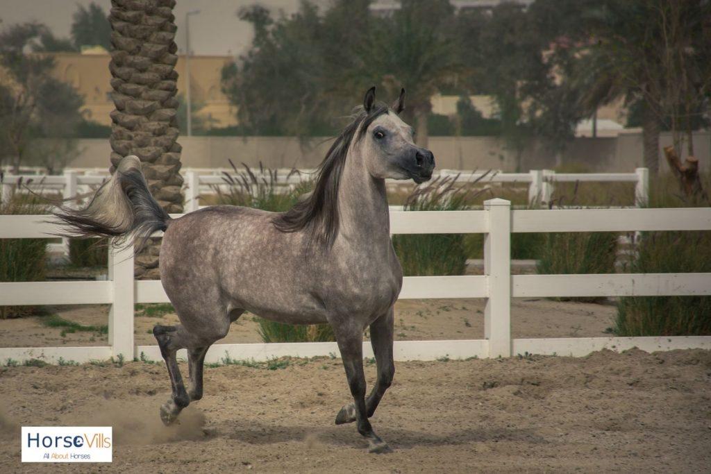 walking grey Arabian horse