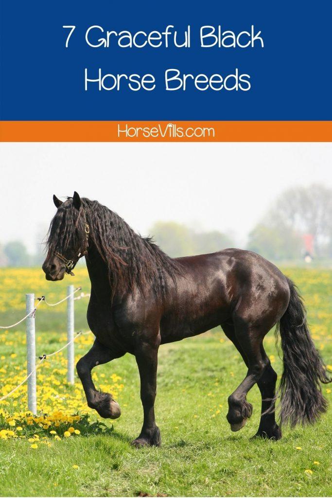 beautiful Friesian black horse