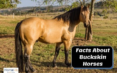 Fascinating Facts About Buckskin Horses