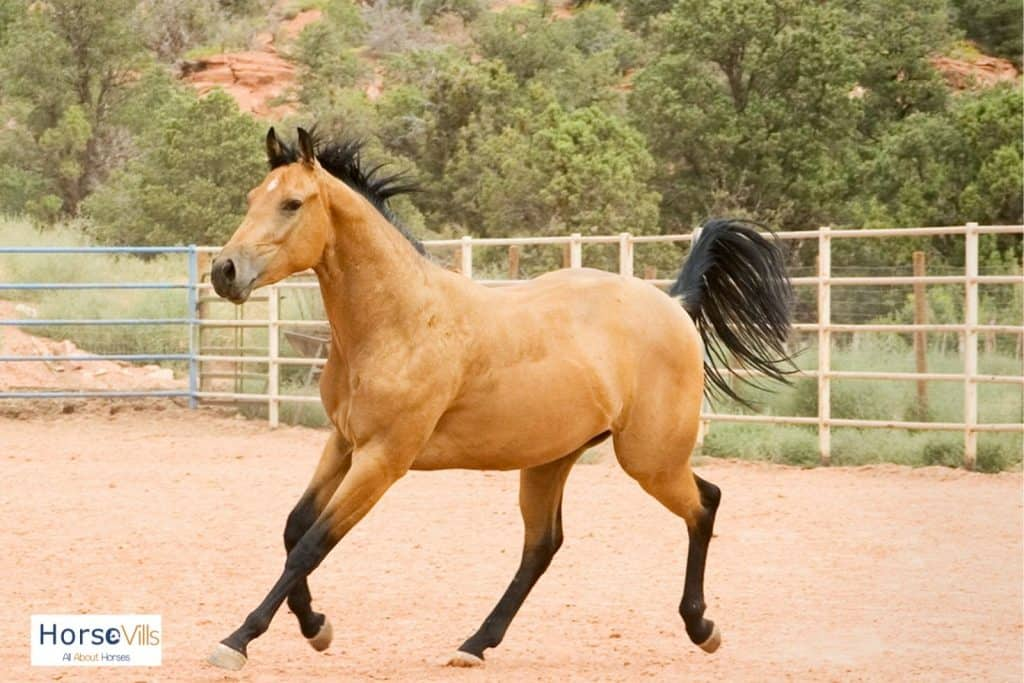 a running buckskin horse with solid black mane and tail