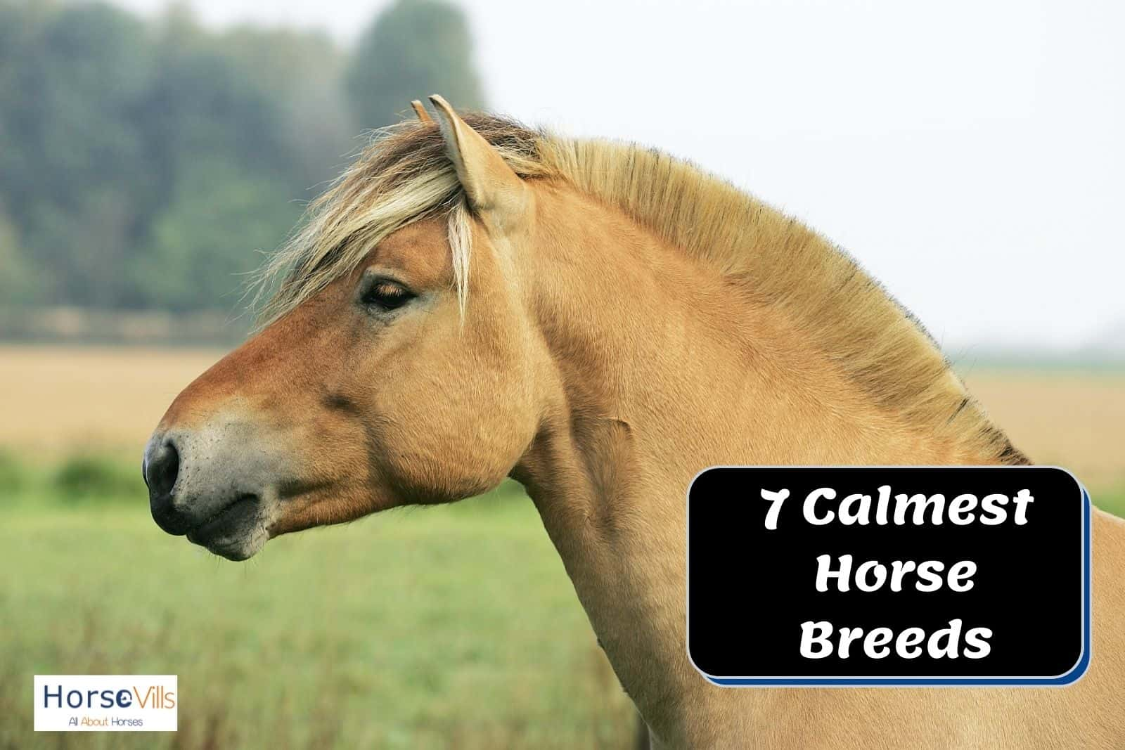 NORWEGIAN FJORD HORSES, one of the calmest horse breeds