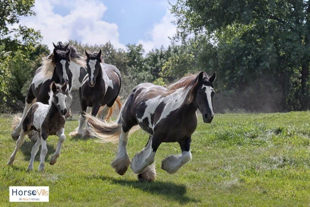 group of gypsy vanner horses