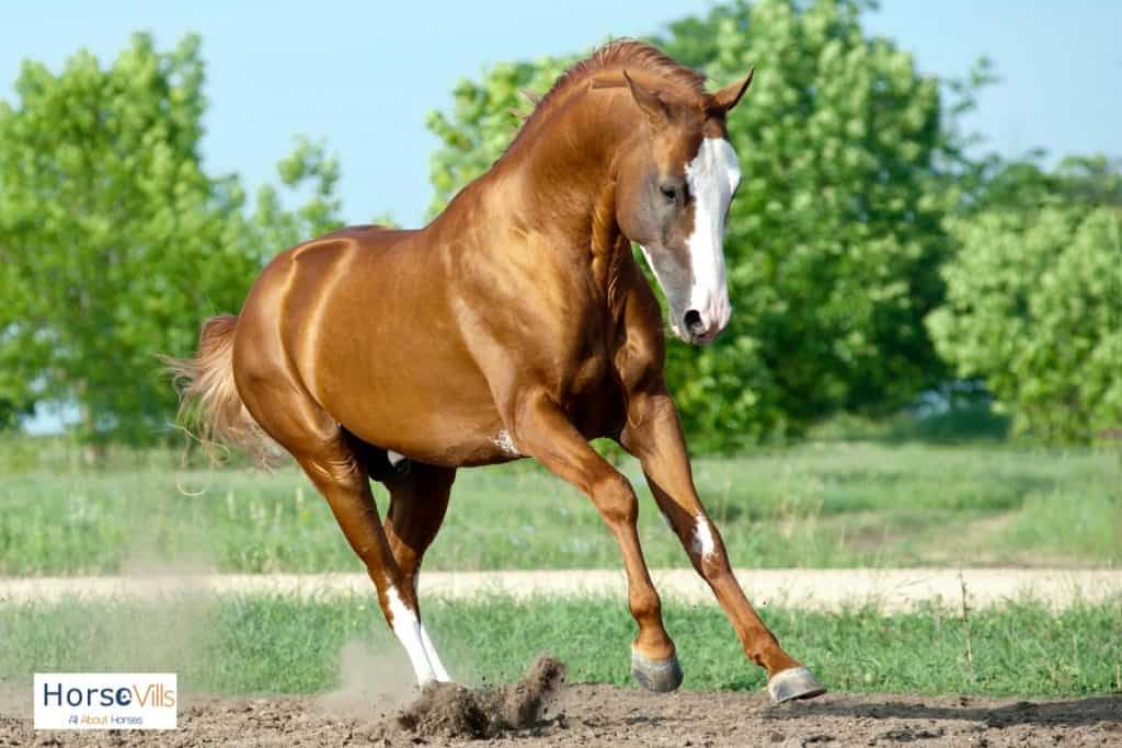 a running chestnut stallion with white marking on the face