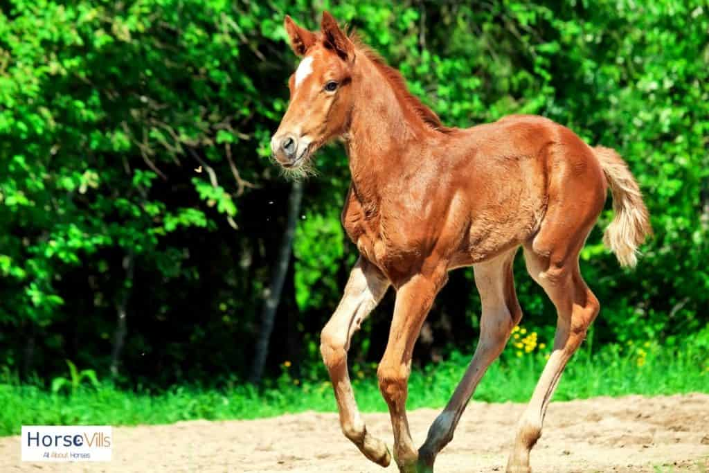 a cute chestnut foal with a golden tail