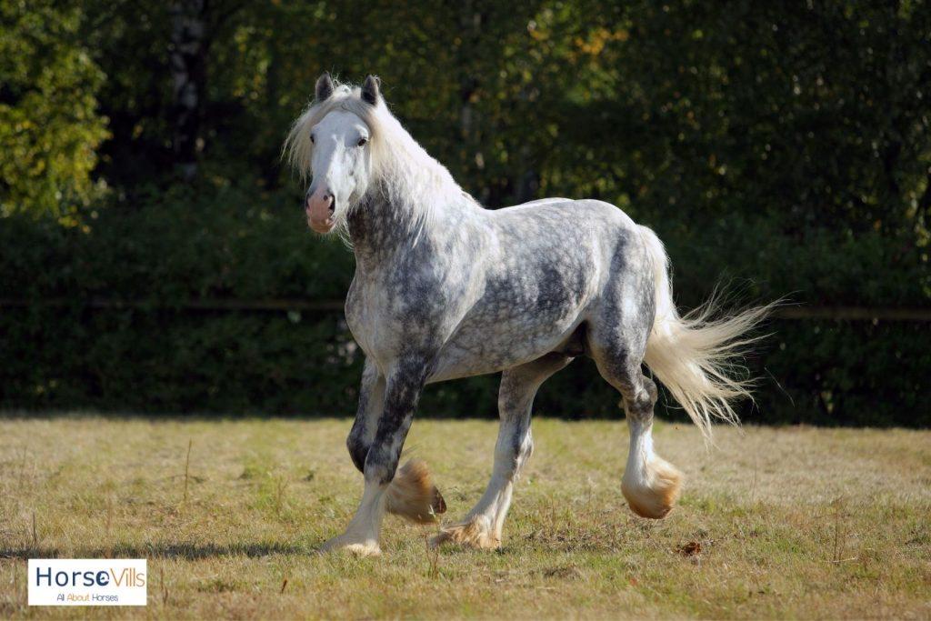a beautiful daple gray stallion with hairy feet