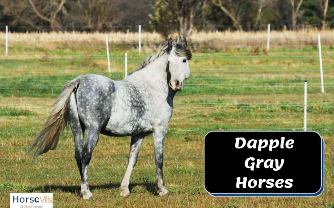 Interesting Facts To Know About Dappled Gray Horses