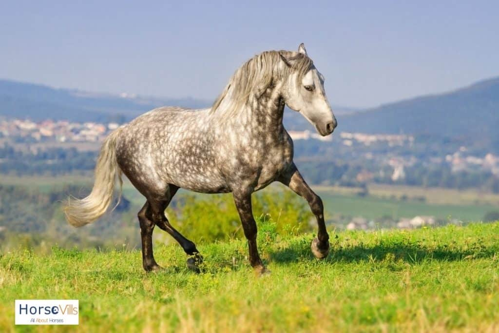 a stunning Andalusian dapple gray horse walking in the grasses