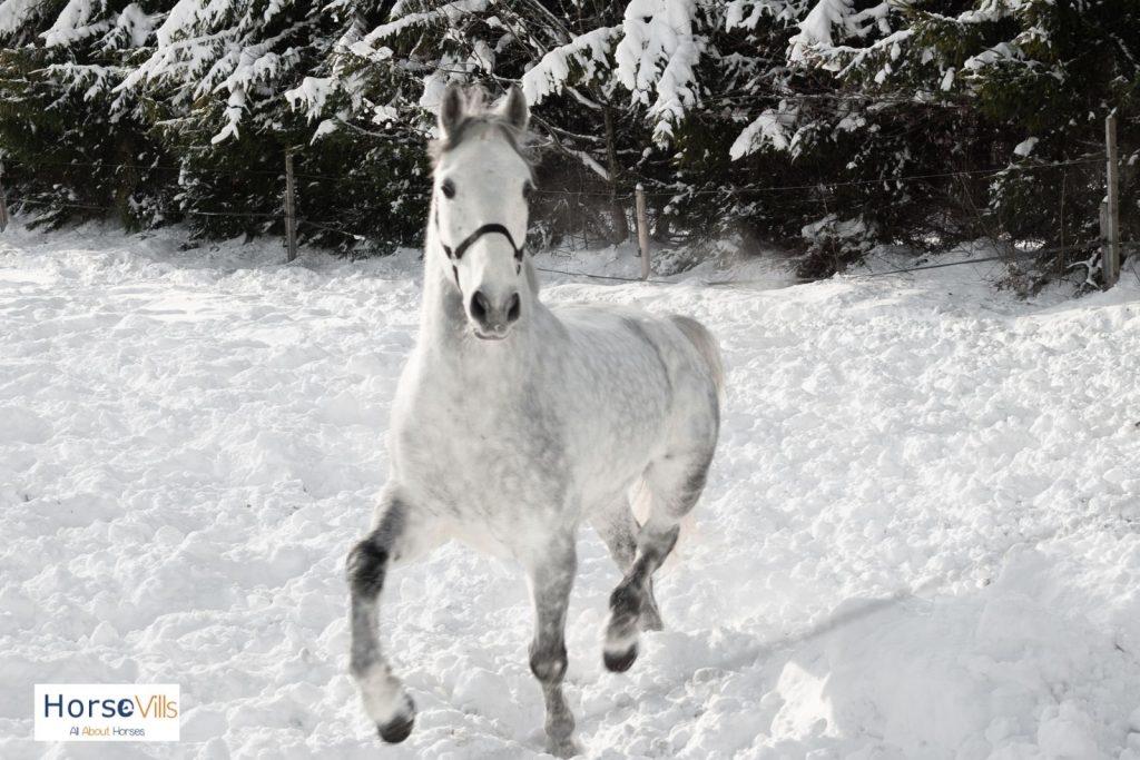lipizzaner dapple gray horse walking in the snow